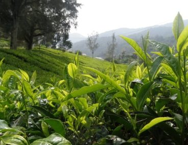 Tea Analysis for Marcala Denomination of Origin