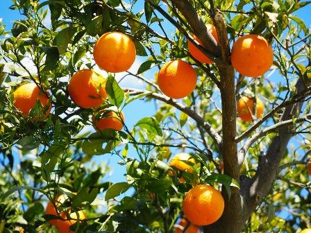 citrus california
