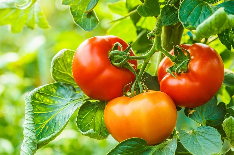 nutritional disorders tomatoes