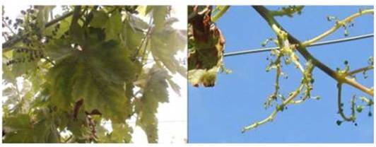 table grapes 2