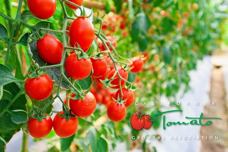 tomato growers california